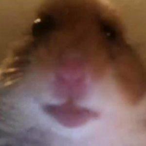 pp hamster tik tok