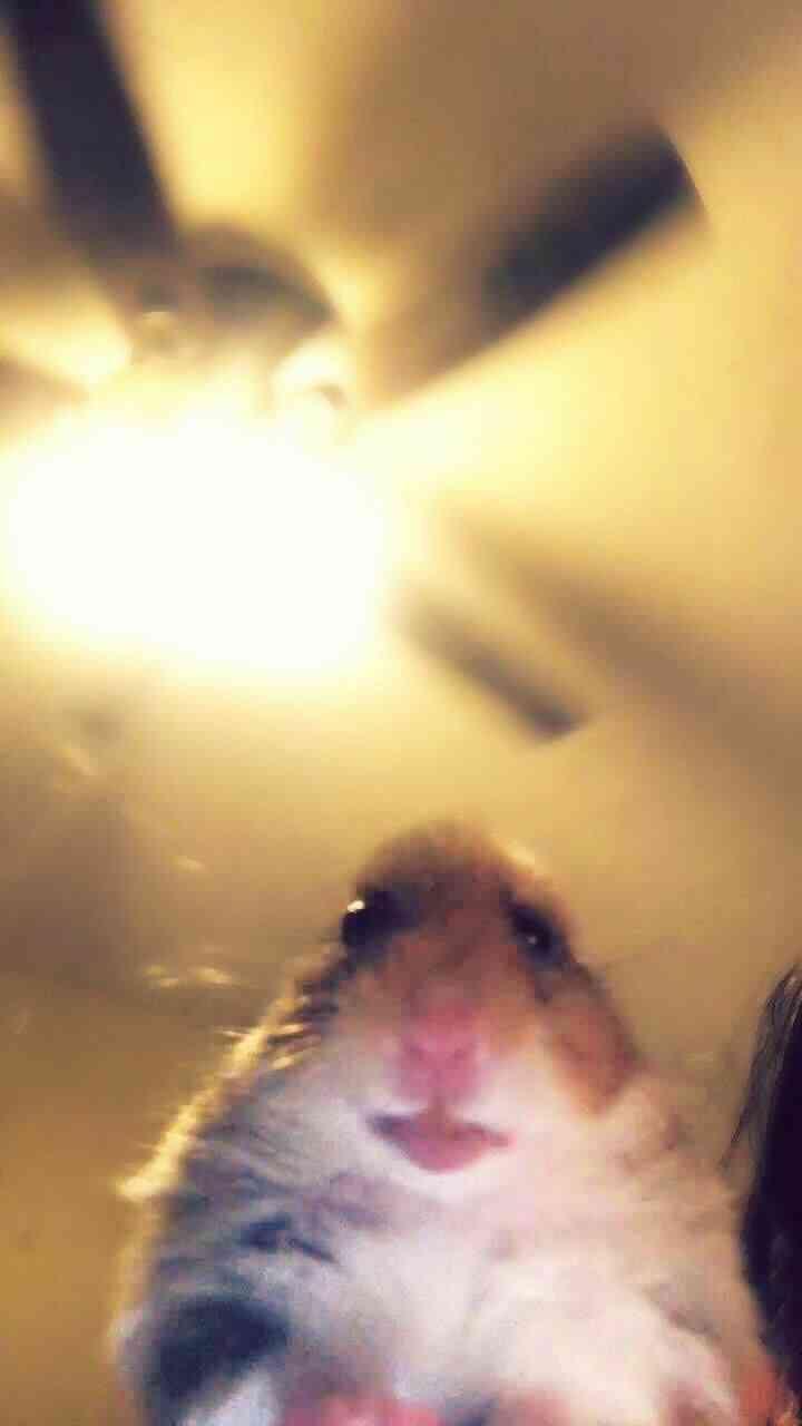 foto profil hamster tiktok
